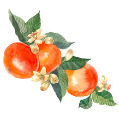 Hand drawn watercolor painting on white background. Aquarelle illustration of fruit mandarin with flowers