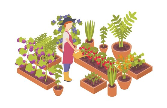 Woman wearing hat and holding watering can and plants growing in garden beds isolated on white background. Homegrown vegetables, eco friendly gardening and farming. Flat colorful vector illustration.