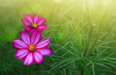 Pink cosmos flowers and bee. Summer background.