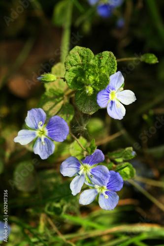 Fleurs De Veronique Stock Photo And Royalty Free Images On Fotolia