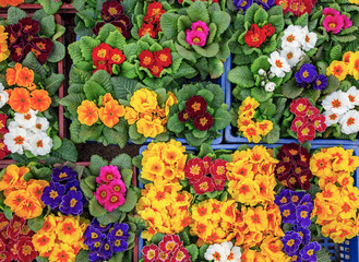 Top view of primula flowers. Floral background