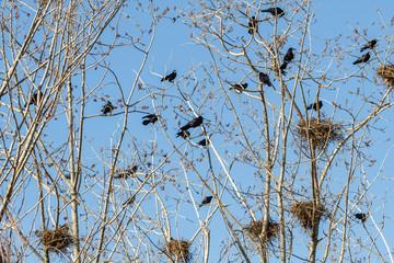 Corvus frugilegus. Colonia de grajas con nidos en chopera.