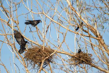 Grajas con nidos. Corvus frugilegus.