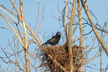 Graja en el nido. Corvus frugilegus.