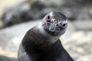 Young Penguin looks at the camera