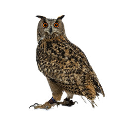 Turkmenian Eagle owl / bubo bubo turcomanus sitting isolated on white background looking over shoulder in lens