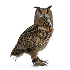 Fotobehang Uil Turkmenian Eagle owl / bubo bubo turcomanus sitting side ways isolated on white background looking over shoulder in lens