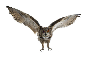 Poster Uil Turkmenian Eagle owl / bubo bubo turcomanus in flight / landing isolated on white background looking at lens