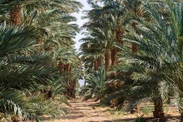 Plantation of Phoenix dactylifera, commonly known as date or date palm trees in Arava and Negev desert, Israel, cultivation of sweet delicious Medjool date fruits