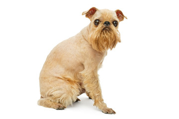Doggie Griffon grooming