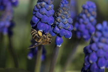 a bee is harvesting nectar from a hyacinth