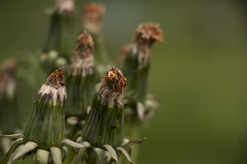 group of faded dandelions