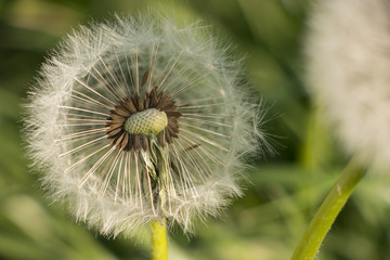 a sense of freedom - at the sight of this dandelion