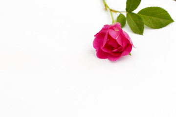 A red rose on a white background