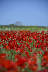 Field of Red Poppies, Spring season
