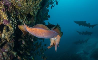 Giant Cuttlefish with shark silhouettes in the background