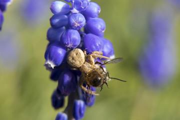 a spider on a hyacinth