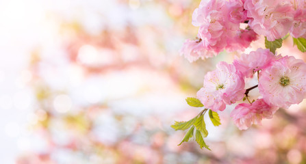 Panoramic spring background, close up of beautiful pink blooming flowers over defocused background with copy space