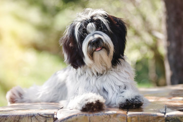 Tibetan terrier or Tsang Apso, Dokhi Apso laying down on wooden planks with tongue out. Nine months old puppy portrait, very shallow deep of field