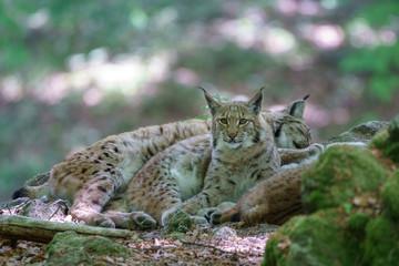 Spoed Foto op Canvas Lynx Luchse im Wald