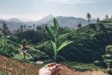 Printed kitchen splashbacks Khaki Teeplantage Fairtrade anbau, Bio Gesund aus der Natur Tee