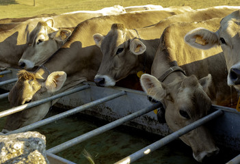some cows drinking water after grazing