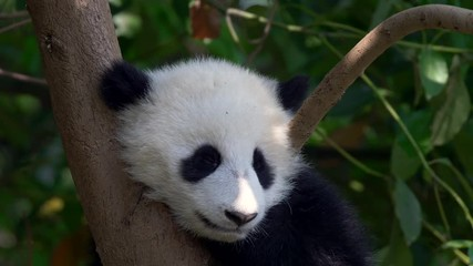 Wall Mural - Panda baby bear sleeping on a tree branch.