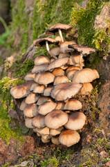 Ammasso di funghi su un piede di pioppo