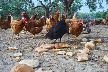 chickens view