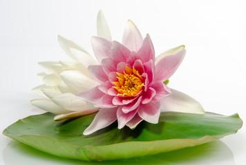 Auszeit, Entspannung, Schönheit, Meditation: Seerosen auf Seerosenblatt vor weißem Hintergrund mit schwarzen Kieselsteinen und Bambus :)