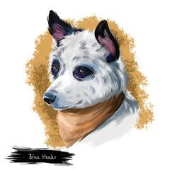 Australian Cattle Dog, Cattle Dog, Blue Heeler dog digital art illustration isolated on white background. Australian origin working herding dog. Cute pet hand drawn portrait. Graphic clip art design