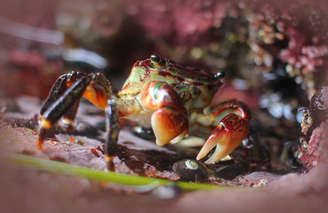 Striped Shore Crab in the Rocks by a Tide Pool