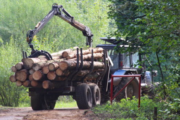 Harvesting of wood, timber truck with manipulator carries logs in the trailer in the summer against the forest
