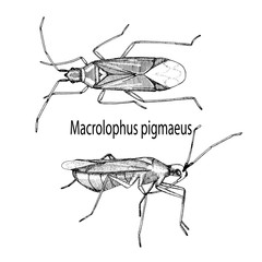 Vector illustration hand drawn sketch of bug Macrolophus in ink on white background