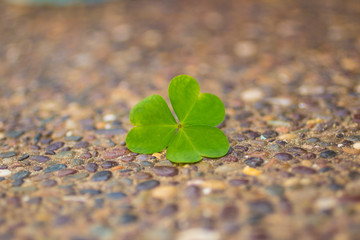 a shamrock ( clover ) on floor