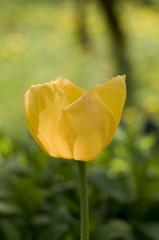 Żółty kwitnący tulipan