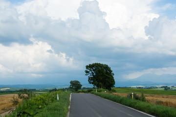 道路のそばに立つ緑のカシワの木 美瑛町