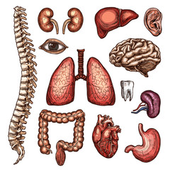 Organ, bone and body part sketch of human anatomy