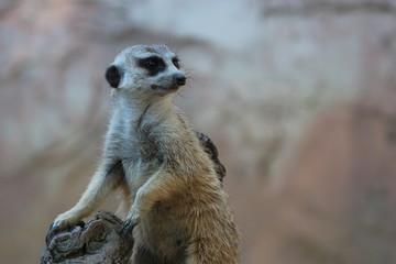 Adorable Meerkat on Guard