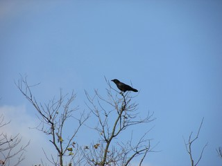 American crow (Corvus brachyrhynchos) perched on a branch at the top of a tree.