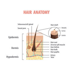 Hair anatomy illustration vector on white background. Madical concept.