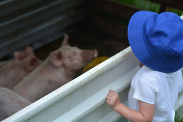 Young girl age looks at a piglet