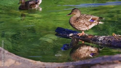 A Female Mallard Duck Is Warming In The Sun While Resting On