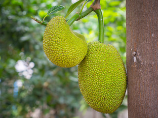 Young Jackfruit on the Tree