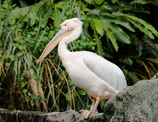 Great eastern white pelican bird