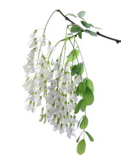 Blossoming acacia with leafs isolated on white background, black locust, flowers,  Robinia pseudoacacia (White acacia)