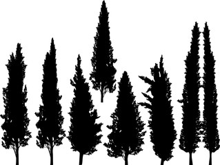 group of cypresses isolated on white