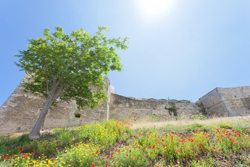 Vieste, Italy - Poppy field at the historic stronghold of Vieste