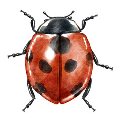 Ladybug watercolor illustration, isolated on white