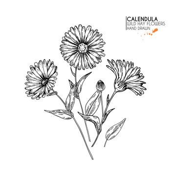 Hand drawn wild hay flowers. Calendula flower. Medical herb. Vintage engraved art. Botanical illustration. Good for cosmetics, medicine, treating, aromatherapy, nursing, package design, field bouquet.